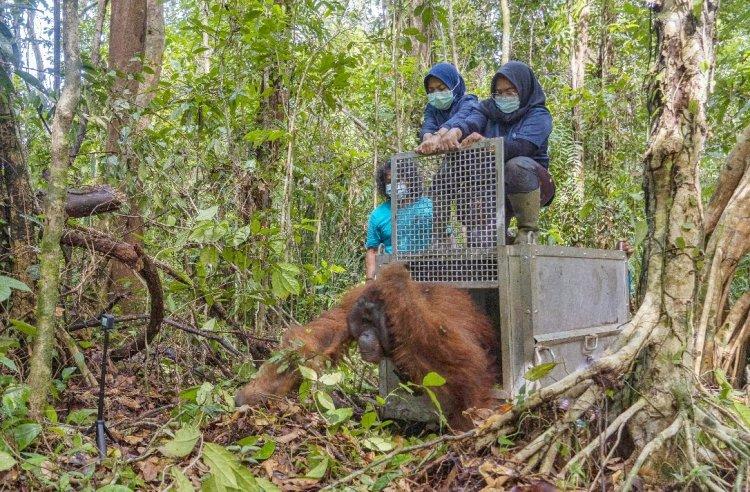 Jala, Orangutan Liar Dewasa yang Terjebak di Kebun Warga Kini Punya Rumah Baru