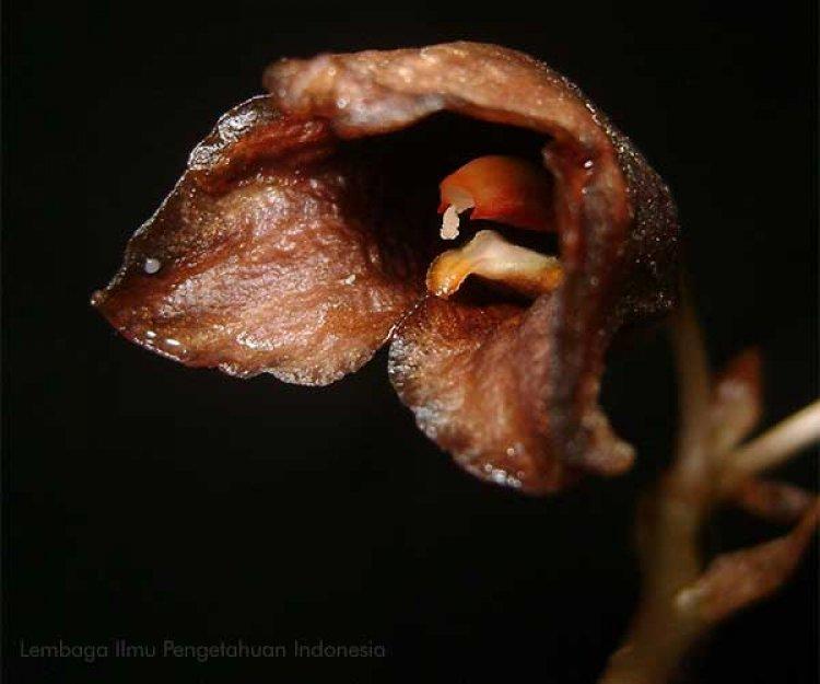 Anggrek Hantu, Bunga yang Hanya Bisa Dilihat Saat Fase Berbunga Juga Ditemukan di Vietnam